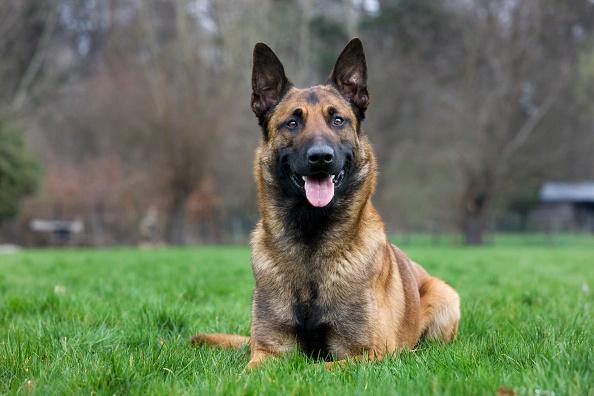 Perro raza pastor belga ataca y mata a bebé en España