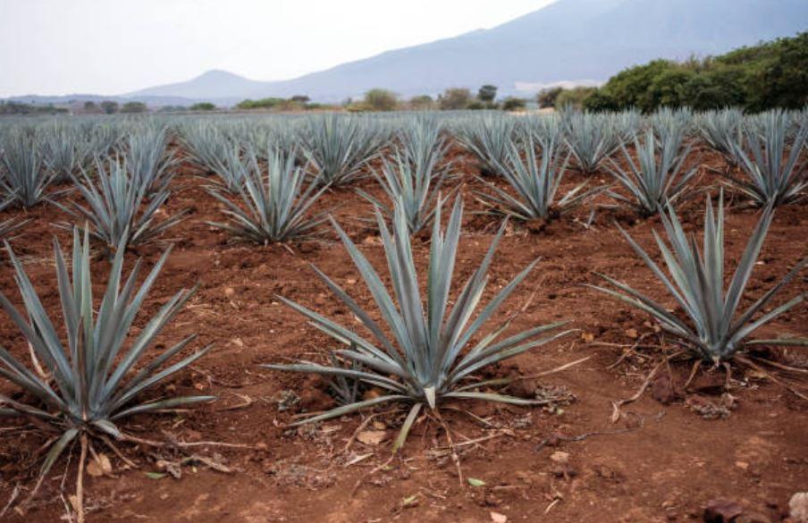 Tequila, producto importante para la economía de México