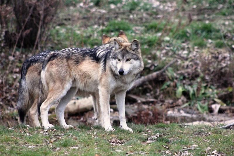 animales-mexicanos-estan-peligro-extincion-2018-lobo-mexicano