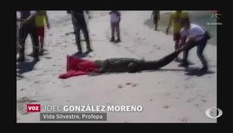 Avistan Otro Cocodrilo Puerto Vallarta Ahora Playa
