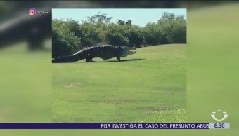 Captan enorme caimán en campo de golf en Florida