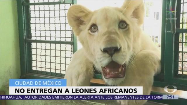 Dueño de 3 leones africanos se niega a entregarlos a Profepa