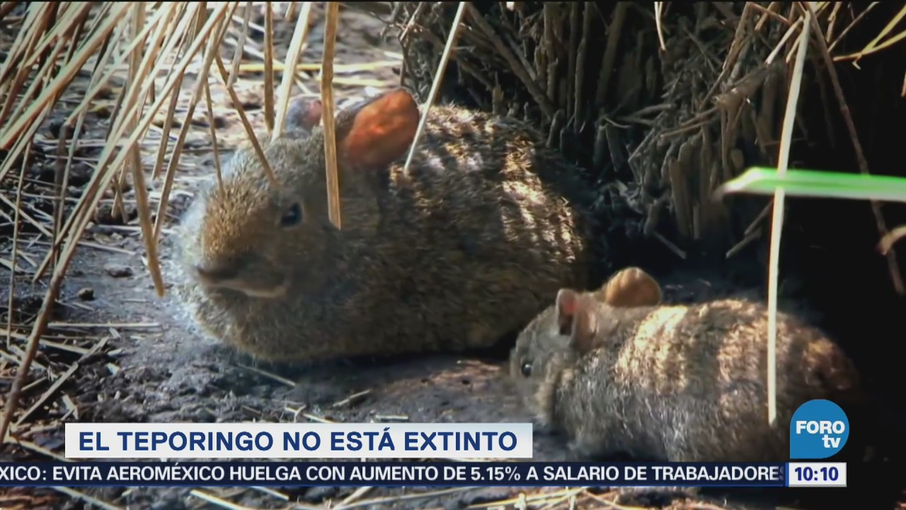 Extra, Extra: El teporingo no está extinto