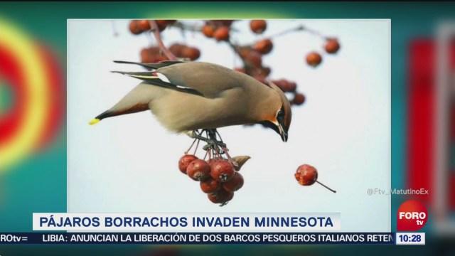 Pájaros borrachos invaden Minnesota