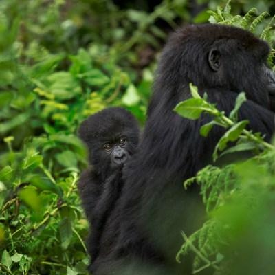 ¿Por qué los gorilas machos pasan tanto tiempo con las crías, incluso las que no son suyas?