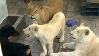 Aseguran a tres leones africanos en azotea de Iztacalco