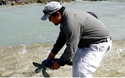 Liberan a tortuga blanca rehabilitada en Campeche