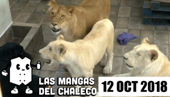 Las Mangas del Chaleco: Lady Martillo, las declaraciones de Madrazo y los leones chilangos en cautiverio