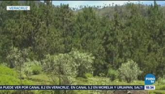 Miles de hectáreas han sido reforestadas en Veracruz