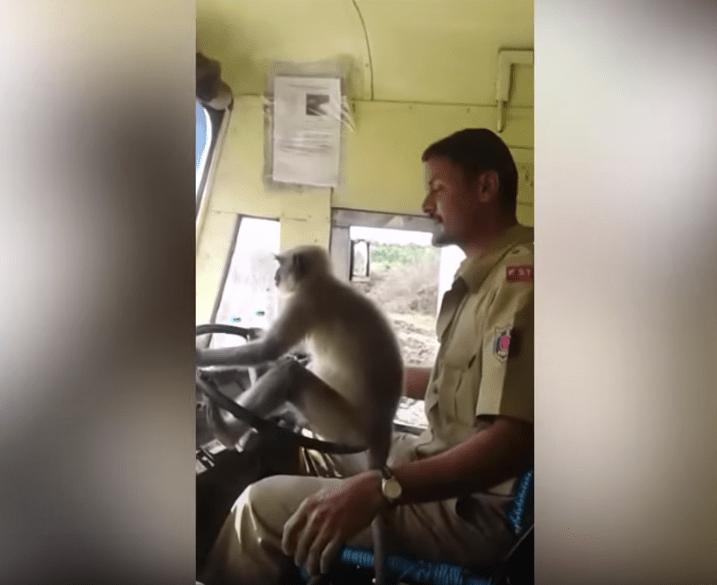 Chofer De Autobús Deja A Mono Conducirlo, Mono Manejando Camión, Mono, Monos, India, Autobús