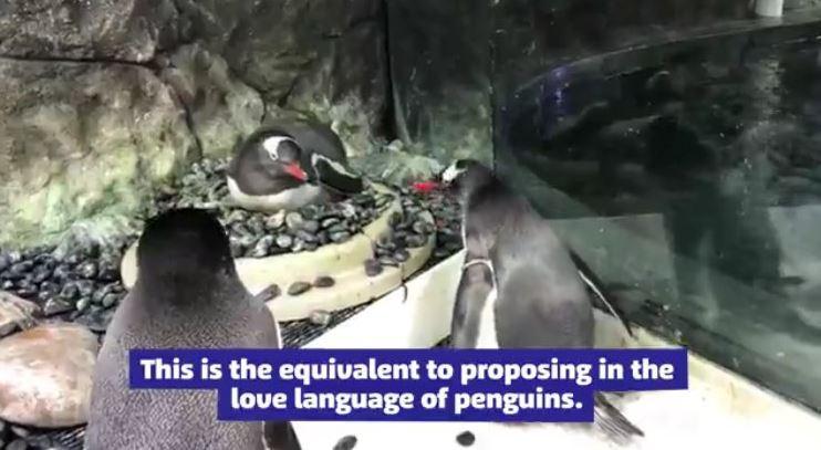 pingüinos macho se convierten en padres en acuario de sidney