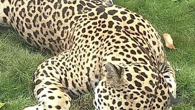 Profepa investiga supuesta muerte de jaguar