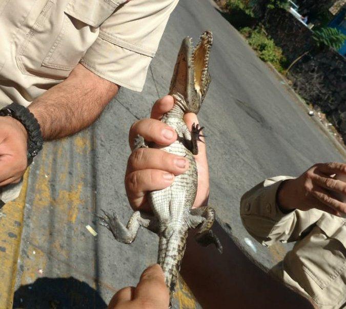 Rescatan cocodrilo bebé coladera en Tlajomulco