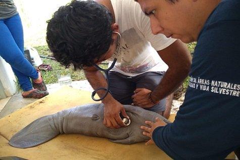 Rescatan a cría de manatí en Chiapas