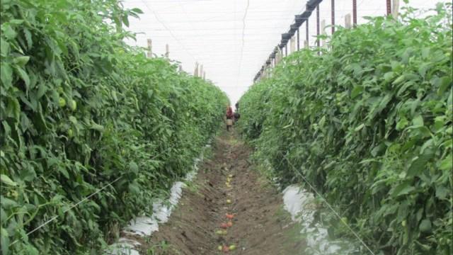 San Luis Potosí cosecha toneladas de tomate con agricultura protegida