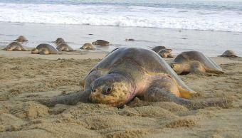 Miles de tortugas golfinas llegan a las playas de Oaxaca