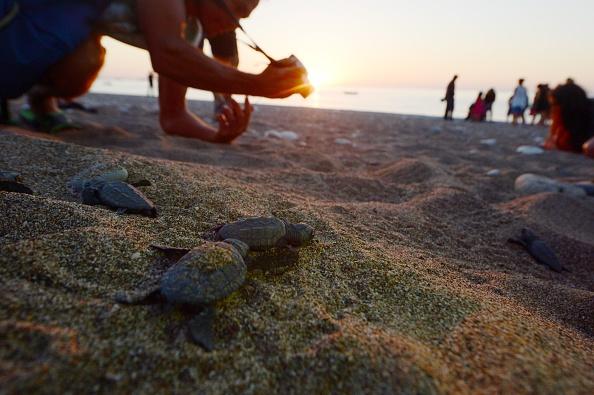 Tortugas marinas Campeche; se recuperan poblaciones