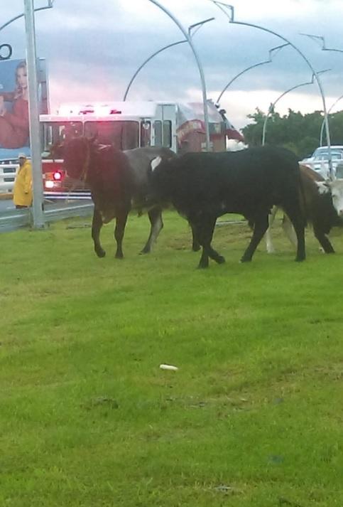 Dos toros y una vaca desquician el tráfico en Guadalajara, Jalisco