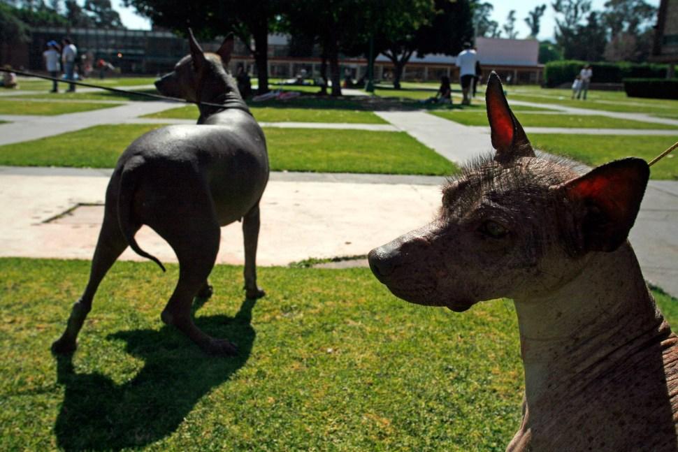 xoloitzcuintle-ciudad-universitaria-perros