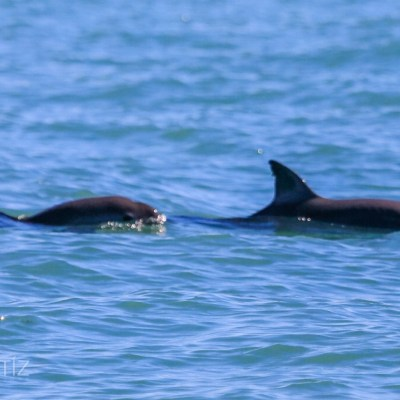 Captan avistamiento de seis vaquitas marinas en Golfo de California