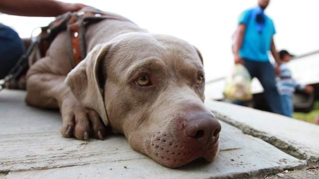 Bolillo, perro migrante que busca el sueño americano