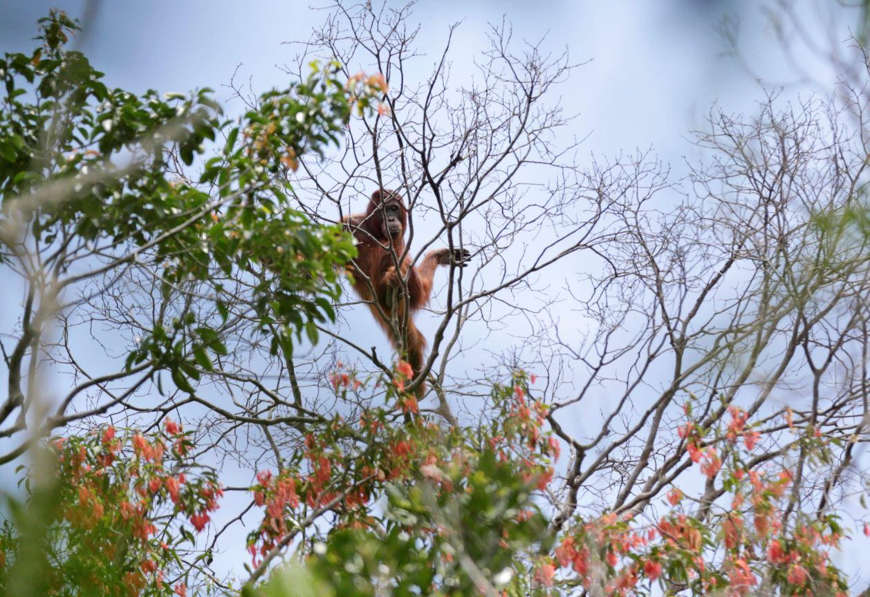 El orangután es una de las especies en peligro de perder su hábitat a causa de la tala por el cultivo de aceite de palma en Asia y Oceanía (AP Images)
