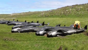 Mueren 51 ballenas piloto al quedar varadas en Nueva Zelanda