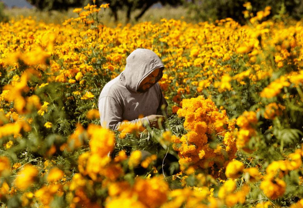 Sembradío de flores de cempasúchil en Puebla. (EFE)