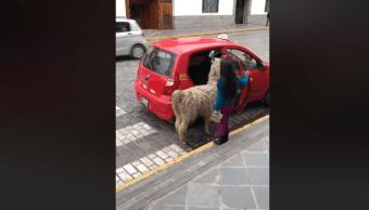 Llama Toma Taxi, Llama Subiéndose A Un Taxi, Cusco, Perú, Llama Perú, Alpaca