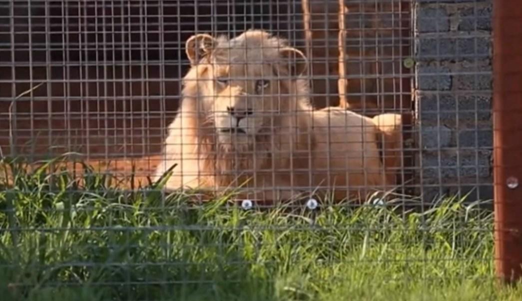 Salvemos a Mufasa, el majestuoso león blanco que será subastado y sacrificado en Sudáfrica por ser infértil