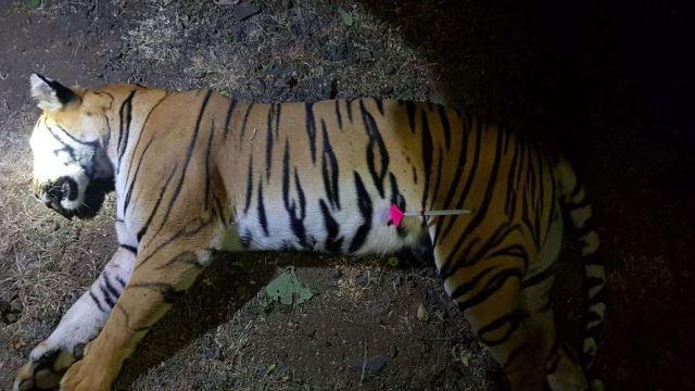 PETA denuncia muerte de tigresa acusada de matar personas