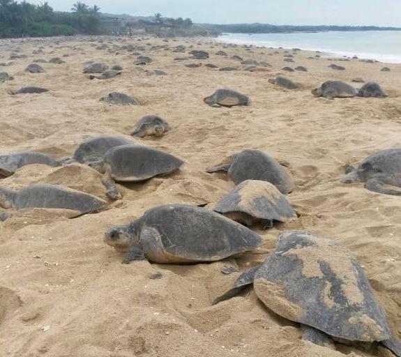 Arriban cientos de tortugas golfinas a Ixtapilla, Michoacán