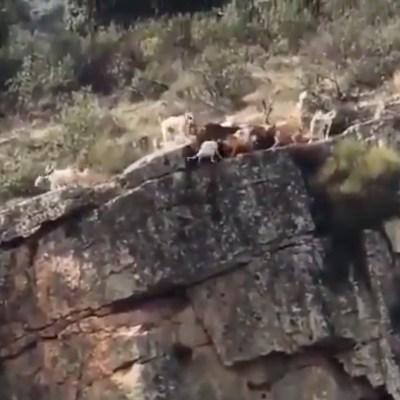 VIDEO: 12 perros y un ciervo caen de barranco durante cacería
