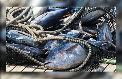 OMC desestima prácticas sustentables de industria atunera
