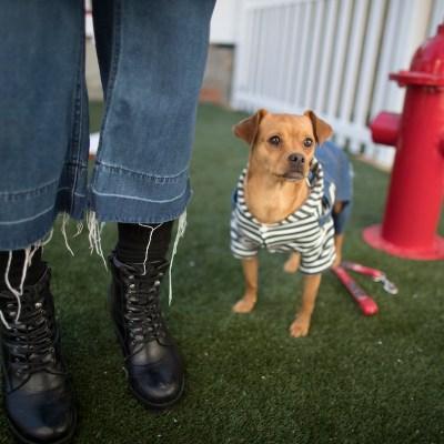 ¿Por qué los perros chihuahua son tan agresivos?
