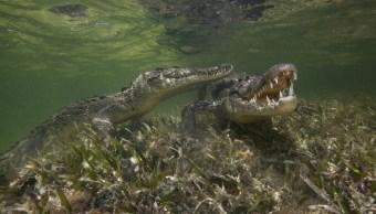 Implementan programa de protección de cocodrilos en Yucatán