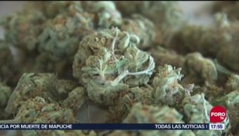Cultivo legal de marihuana en España