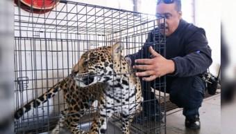 Profepa aseguran jaguar que escapó de un domicilio en Chihuahua