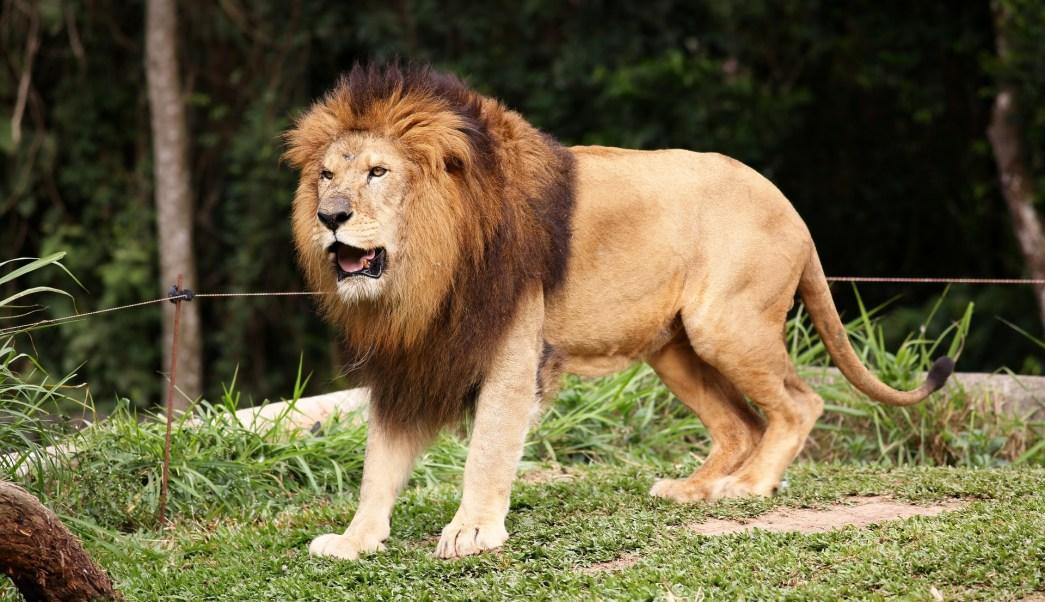 León Mata A Cuidadora Tras Escapar De Su Jaula, León Mata Cuidadora, León, Leones, Carolina Del Norte, Estados Unidos