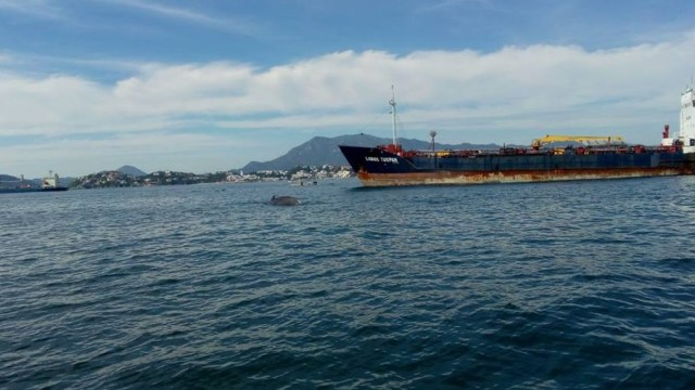 Colima: Rescatan a ballena herida por arte de pesca