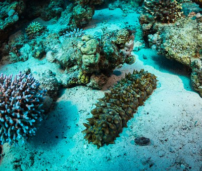 Liberan ejemplares de pepino de mar reproducidos en invernaderos en Yucatán