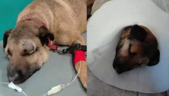 Perro salva a 3 niños de serpiente, estuvo a punto de morir