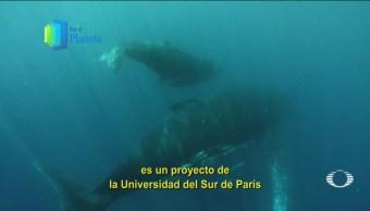 Por El Planeta Monitorean Ballenas Jorobadas