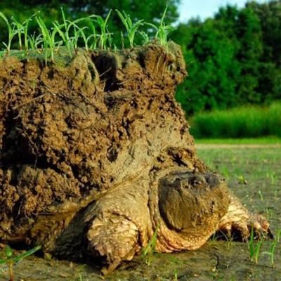El curioso caso de la tortuga que carga un