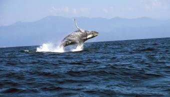 Ballenas jorobadas BCS contabilizan 79 ejemplares