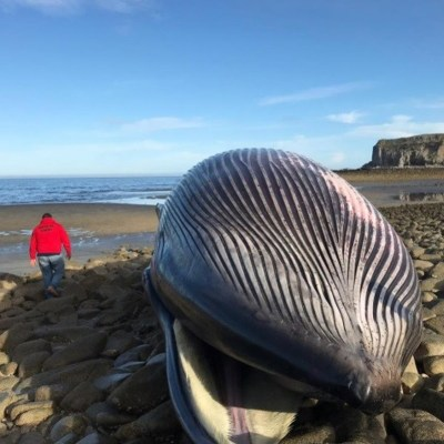 Profepa atiende muerte de ballena rorcual varada en Baja California