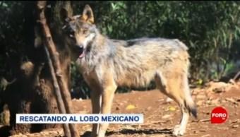 El Plan Para Rescatar Al Lobo Mexicano, Rescatar Al Lobo Mexicano, Organizaciones, Gobiernos, Reintroducir Al Lobo Mexicano, Vida Silvestre, Territorio Nacional