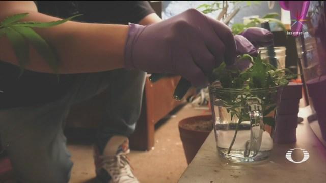 Autocultivo, opción para consumidores de marihuana
