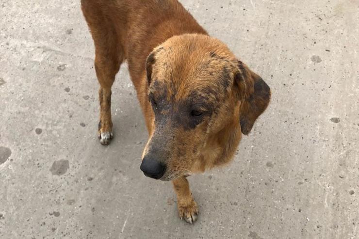 Juan, un perro de cuatro años, fue encontrado en Buenos Aires con una pata rota, sarna y desnutrición en Tigre (La Nación)