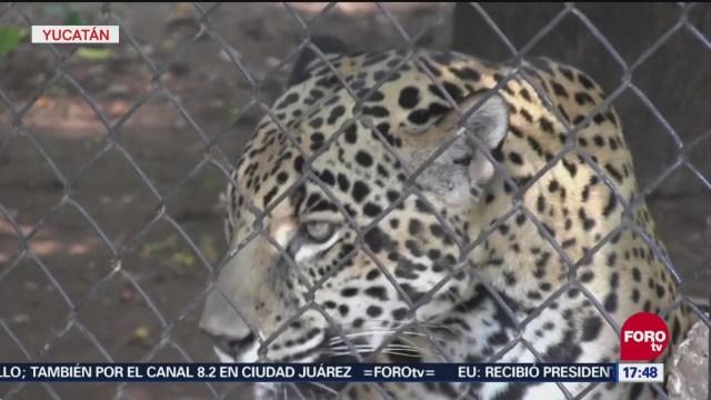 Yucatán Suma Esfuerzos Para Proteger Al Jaguar, Yucatán, Proteger Al Jaguar, Pagar Ataques De Estos Felinos A Ganaderos, Conservación Del Jaguar,
